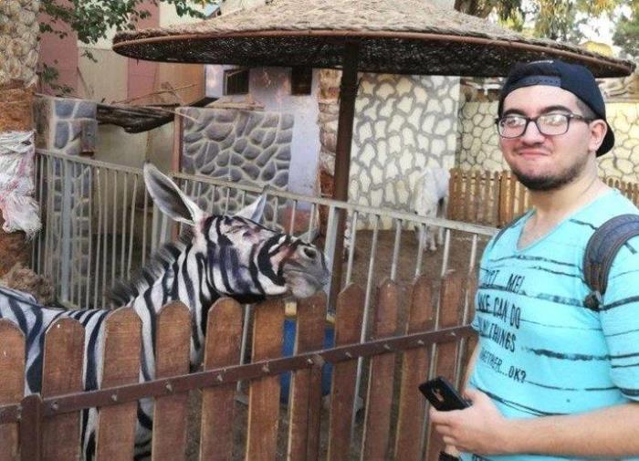 Zebra pictata 01