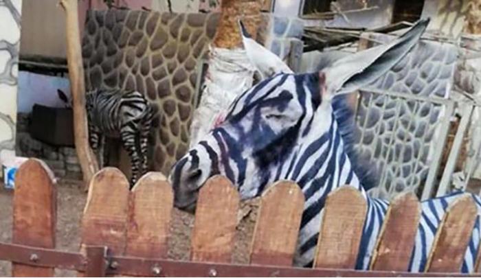 Zebra pictata 02
