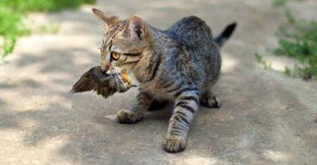 Cum a provocat o pisică dispariția unei întregi specii de pitulici din Noua Zeelandă