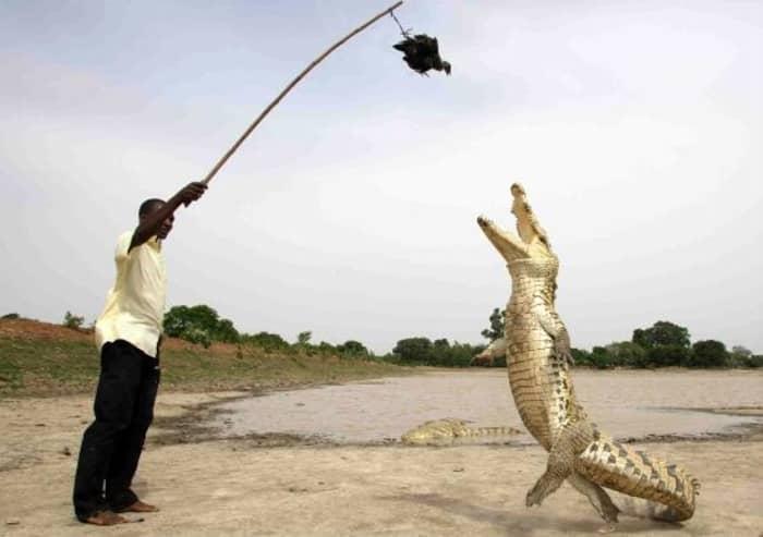 crocodili_07