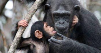 7 lucruri cu adevărat surprinzătoare despre cimpanzei
