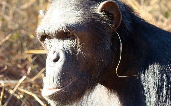 Curiozități despre cimpanzei