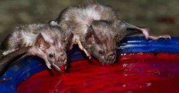 8 animale-vampir care l-ar pune pe gânduri chiar și pe Dracula featured_compressed