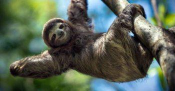 5 curiozități despre leneși, experți în trândăvitul în junglă