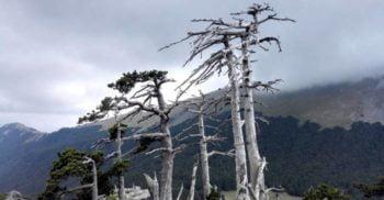 Acesta este Italus, cel mai bătrân copac din Europa, de 1231 de ani