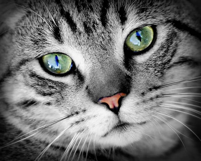 Curiozitati despre pisici 03
