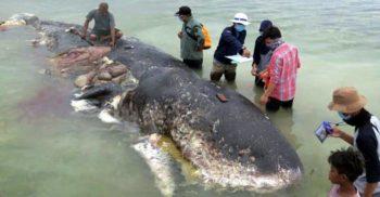 O balenă plină cu pahare de plastic, pungi și șlapi a eșuat pe o plajă din Indonezia