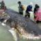 O balenă plină cu pahare de plastic, pungi și șlapi a eșuat pe o plajă din Indonezia featured_compressed