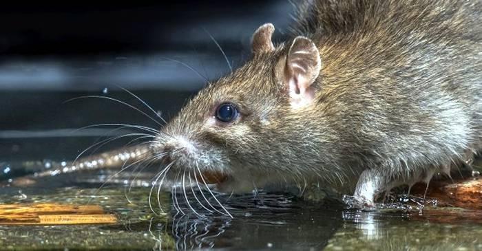 O tulpină rară de hepatită pare să fi făcut saltul de la șobolani la oameni featured_compressed