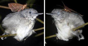 <mark>VIDEO</mark> O molie, surprinsă hrănindu-se cu lacrimile unei păsări care doarme