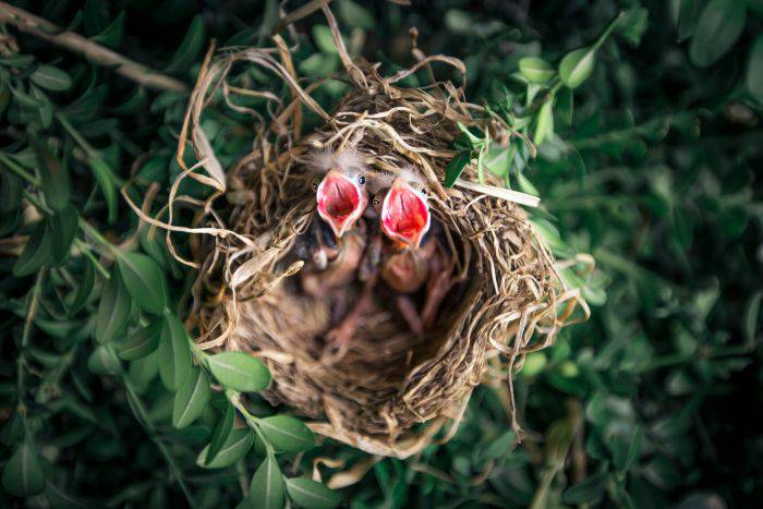animals-baby-birds-bird-nest-1275680_compressed