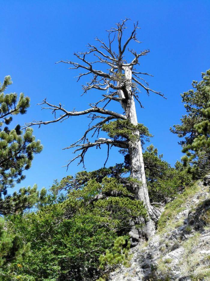cel mai batran copac din europa 3_compressed
