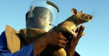 7 curiozități despre șobolani, eternii suspecți de serviciu featured_compressed
