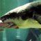 Acesta este Matusalem, cel mai bătrân pește din lume aflat în captivitate featured_compressed