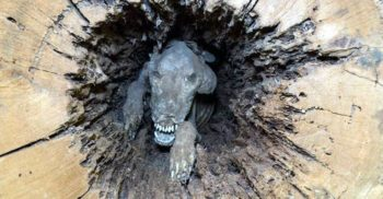 Stuckie, câinele mumificat care a a stat într-un copac timp de 60 de ani