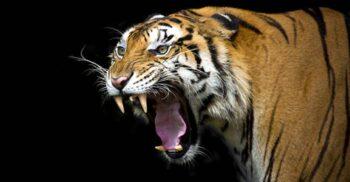 10 curiozități despre tigri, ucigașii singuratici ai Orientului