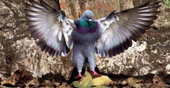 5 curiozități despre porumbei, cele mai hulite păsări din oraș