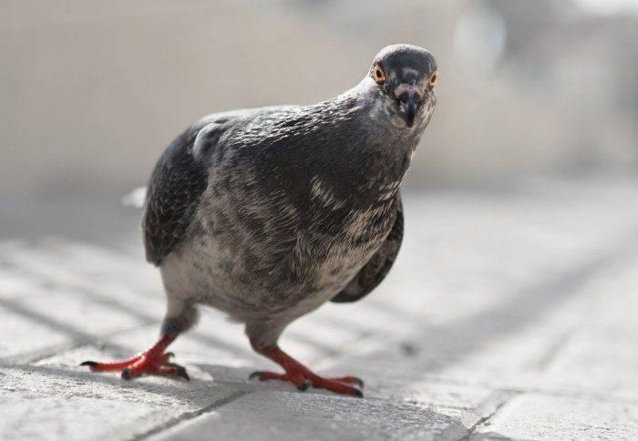 Curiozitati despre porumbei 03