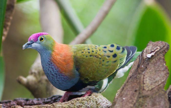 Curiozitati despre porumbei 05