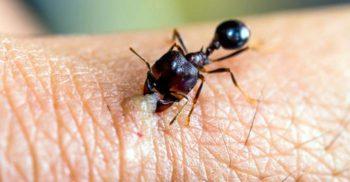 Mușcătura furnicii Dracula, cea mai rapidă mișcare din regnul animal
