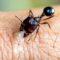 Mușcătura furnicii Dracula, cea mai rapidă mișcare din regnul animal featured_compressed