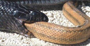 Cenaspis aenigma, specia de șarpe descoperită în stomacul altui șarpe