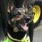 Sombra, câinele pe capul căruia mafia a pus o recompensă de 70.000 de dolari featured_compressed