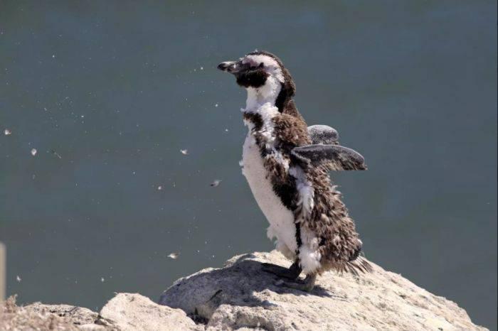 curiozități despre pinguini