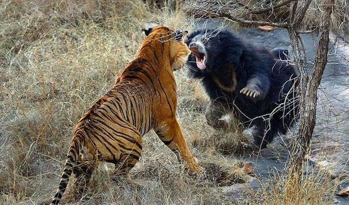 curiozități despre tigri