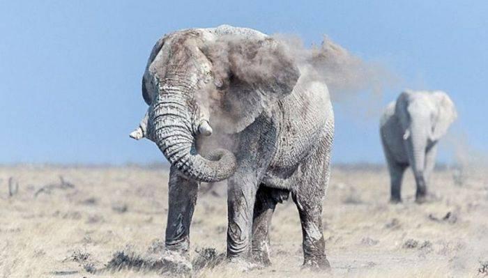 curiozități despre elefanți