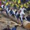 Călăritul buștenilor uriași Cel mai periculos festival din Japonia featured_compressed
