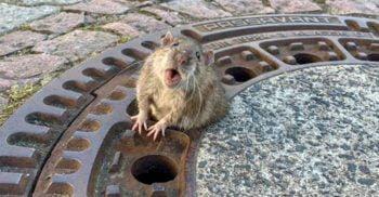 Opt pompieri și un veterinar au salvat un șobolan prea gras, blocat într-un capac de canal