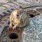 Opt pompieri și un veterinar au salvat un șobolan prea gras, blocat într-un capac de canal featured_compressed
