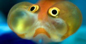 Peștele care se îmbată pentru a trece peste lunile grele de iarnă