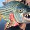 Pericol sub apă 7 dintre cei mai periculoși pești din lume featured_compressed