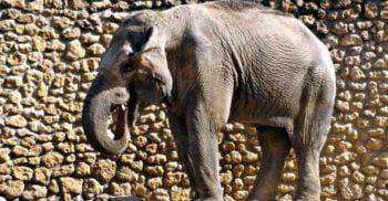 """""""Cel mai trist elefant din lume"""" a murit după 43 de ani de captivitate solitară"""