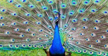 """12 lucruri uimitoare despre pene, """"marca înregistrată"""" a păsărilor"""