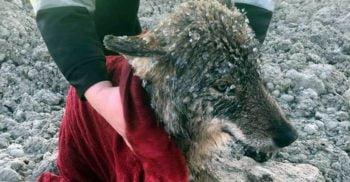 """Au salvat un """"câine"""" din râul înghețat. Apoi și-au dat seama că animalul era, de fapt, un lup"""