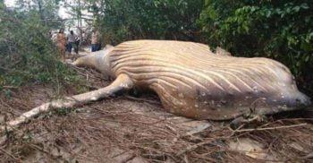 Cadavrul unei balene cu cocoașă a apărut, inexplicabil, în jungla din Brazilia