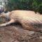 Cadavrul unei balene cu cocoașă a apărut, inexplicabil, în jungla din Brazilia featured_compressed