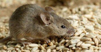 Cazul bizar al șobolanilor judecați pentru că au mâncat recolta de orz