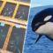 Cea mare închisoare pentru balene de pe planetă, descoperită cu drona în Rusia FEATURED_compressed