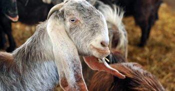 O capră a câștigat alegerile pentru primăria unui oraș din SUA
