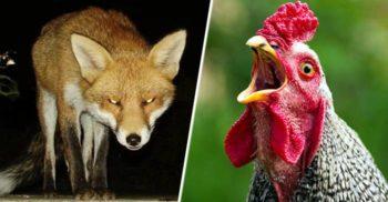 O vulpe care s-a strecurat într-o fermă de păsări a fost ucisă de găini