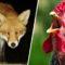 O vulpe care s-a strecurat într-o fermă de păsări a fost ucisă de găini featured_compressed