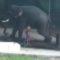 Un indian a fost strivit de un elefant pe care l-a lovit cu bâta pentru a-l forța să se așeze FEATURED_compressed
