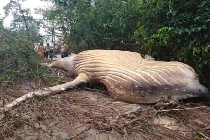 Balena cu cocoașă