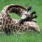 7 animale cu obiceiuri interesante legate de somn featured.fw_compressed