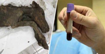 A fost extras sânge lichid din mânzul de 42.000 de ani. Următorul pas clonarea featured.fw_compressed