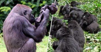 """Cum percep animalele moartea: Gorilele își """"plâng"""" semenii decedați"""